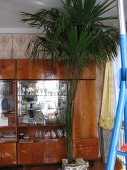 Продается веерная пальма