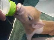 Замінник цільного молока для телят та свиней
