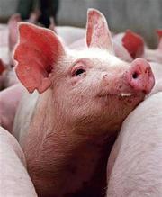 Бвмд для свиней,  бвд для свиней