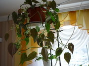 Филодендрон блестящий /Philodendron micans/ -150гр.