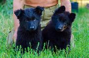 Маленькие черненькие ищут хозяев чтобы любить,  беречь и охранять ; )