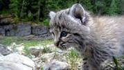 Продам красивых котят РЫСИ!!!!!Канадские и Европейские рыси