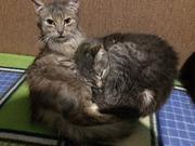 Отдам в хорошие руки бесплатно котят,  котов,   Черкассы