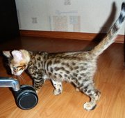 Бенгальский котенок окраса золотистый-пятнистый